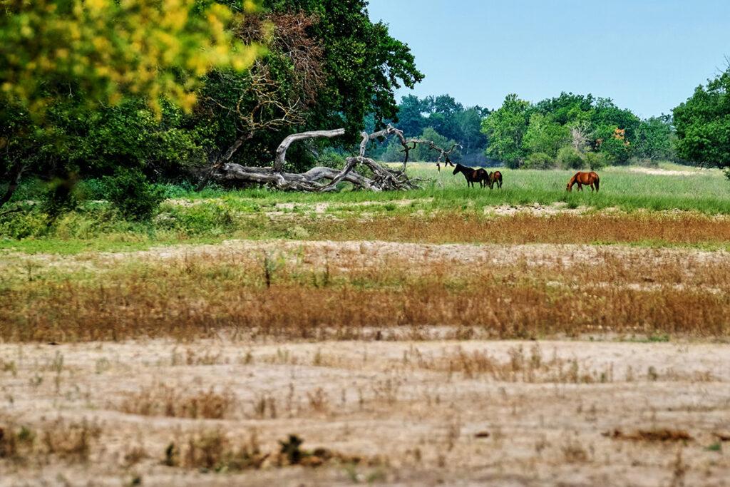 Danube Delta of Romania Letea Forest Horses
